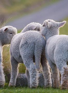Lambs in Irish field